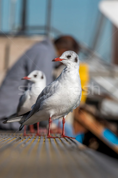 Seagulls Stock photo © digoarpi
