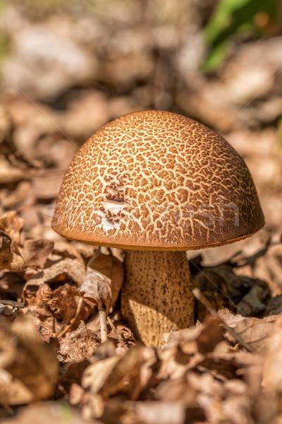 Scaber stalk mushroom (Leccinum scabrum) Stock photo © digoarpi