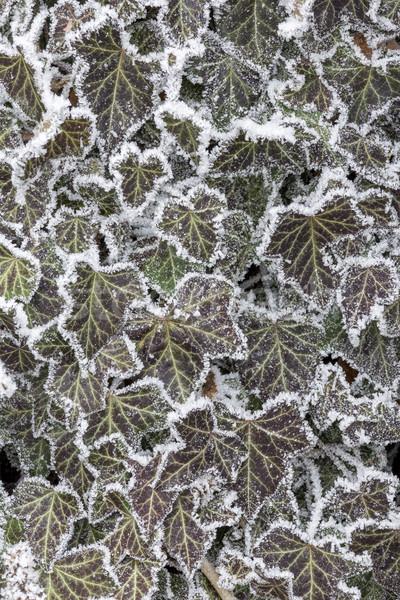 заморожены спираль холодно день природы лист Сток-фото © digoarpi