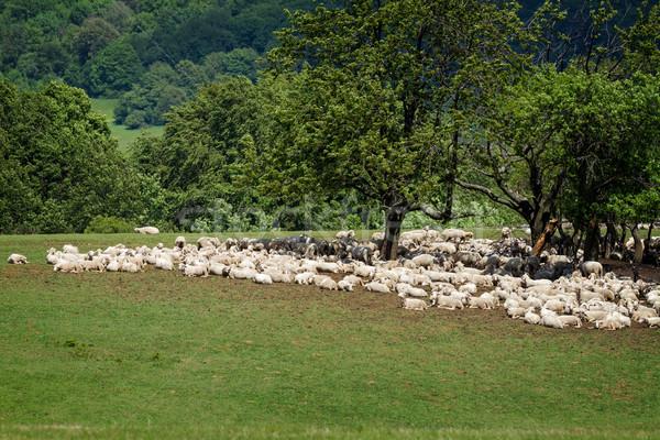 Flock of sheepes Stock photo © digoarpi