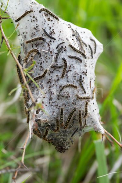 Lagartas jovem ninho borboleta cabelo grupo Foto stock © digoarpi