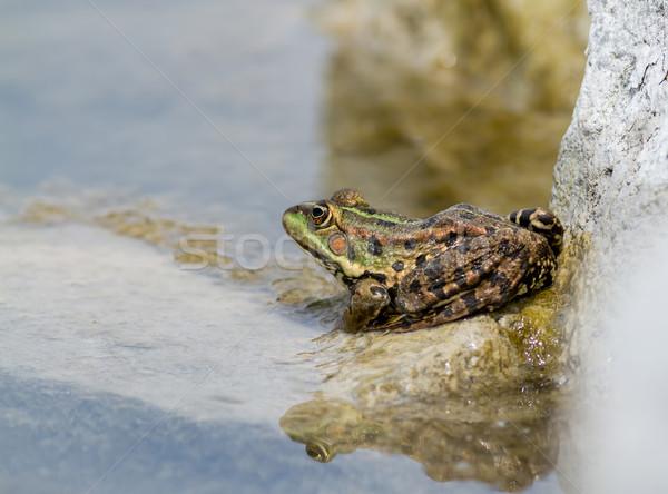 Commestibile rana acqua natura rock stagno Foto d'archivio © digoarpi