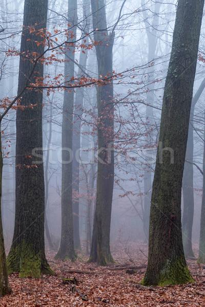 Oak forest  Stock photo © digoarpi