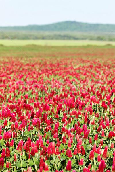 Trèfle champ de fleurs belle fleurs été Photo stock © digoarpi