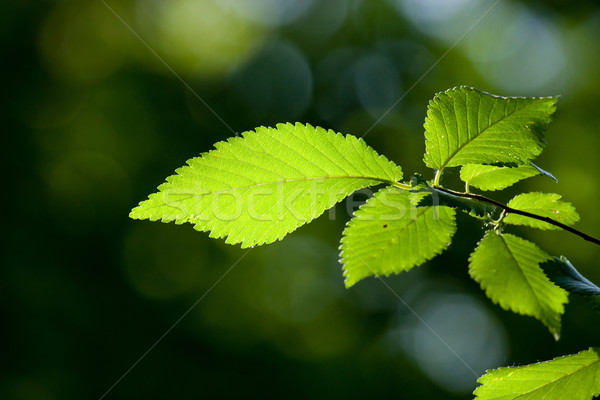 Yaprakları güzel orman detay doğa Stok fotoğraf © digoarpi