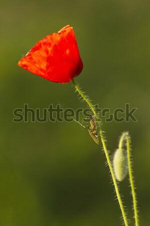 Poppy Stock photo © digoarpi