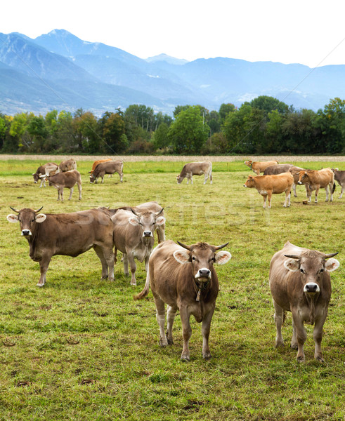 Koeien nieuwsgierig zuivelfabriek boerderij natuur Stockfoto © digoarpi