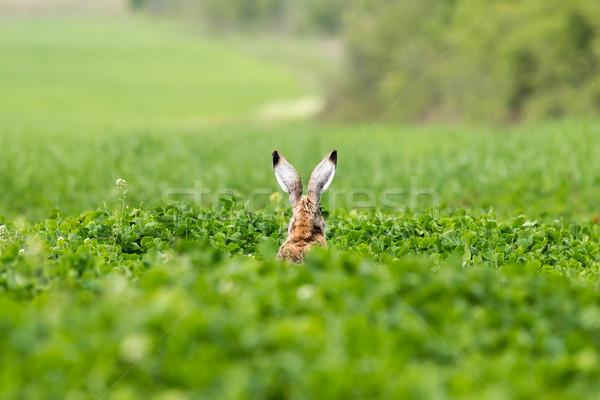 Stock photo: European hare (Lepus europaeus)