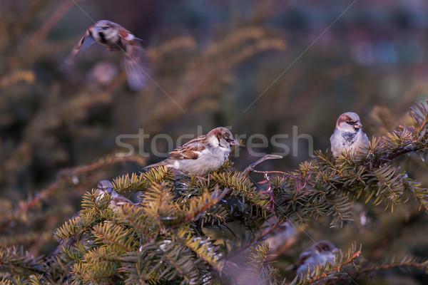 Młodych mężczyzna wróbel ptaków zimą portret Zdjęcia stock © digoarpi