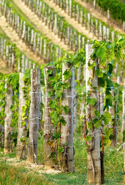 Uvas belo paisagem fruto verão Foto stock © digoarpi