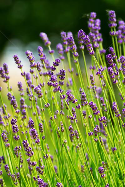 лаванды цветы красоту медицина завода Сток-фото © digoarpi