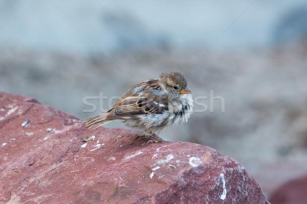 Pardal jovem rocha olho pássaro pena Foto stock © digoarpi