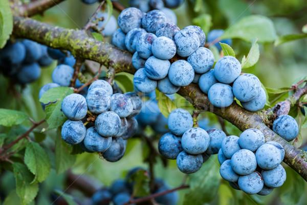 Bush molti frutti albero nero autunno Foto d'archivio © digoarpi