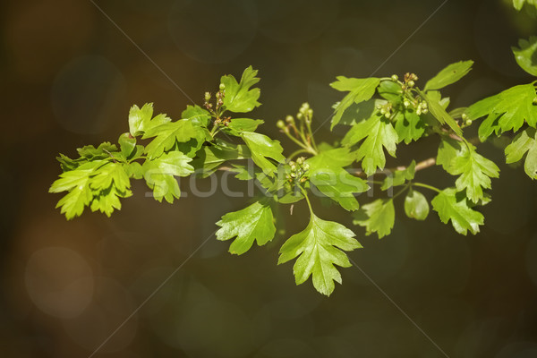 Close up of common hawthorn leaves Stock photo © digoarpi