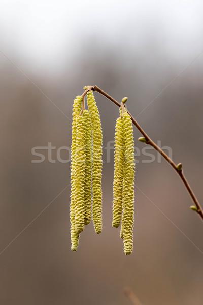 Corylus avellana, Hazelnoot male flowers Stock photo © digoarpi