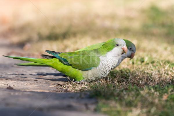 монах лес природы птица зеленый джунгли Сток-фото © digoarpi