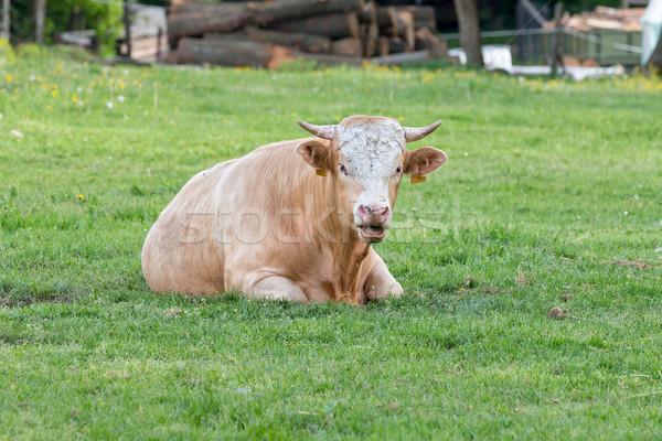 Węgierski byka trawy gospodarstwa kolor Zdjęcia stock © digoarpi