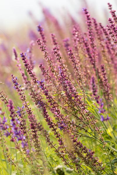Belo flores silvestres prado verde rosa Foto stock © digoarpi