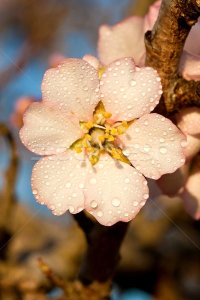 Flores belo amêndoa flor cair árvore Foto stock © digoarpi