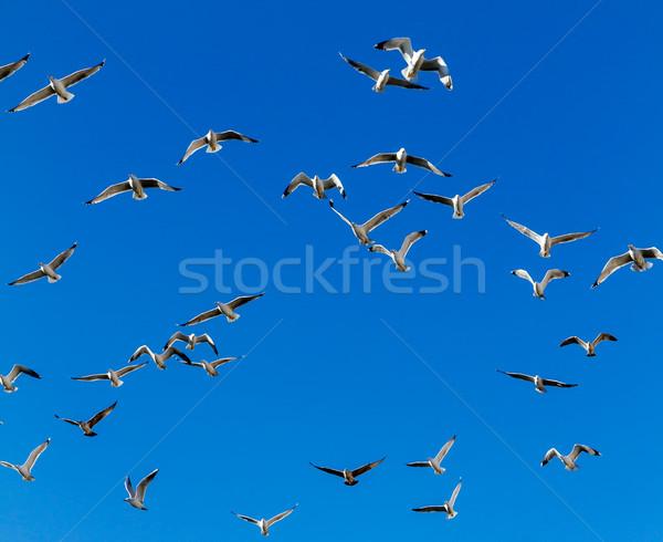 Veel zeemeeuw blauwe hemel hemel schoonheid zomer Stockfoto © digoarpi