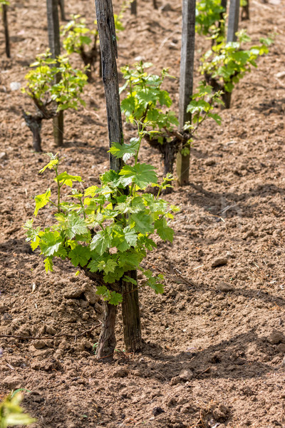 Young grape plant  Stock photo © digoarpi