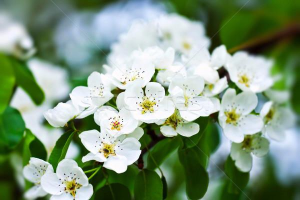Flor belo flores brancas folha fruto Foto stock © digoarpi