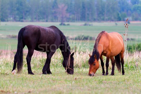 Horses Stock photo © digoarpi