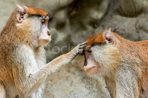 Blessing monkey Stock photo © digoarpi