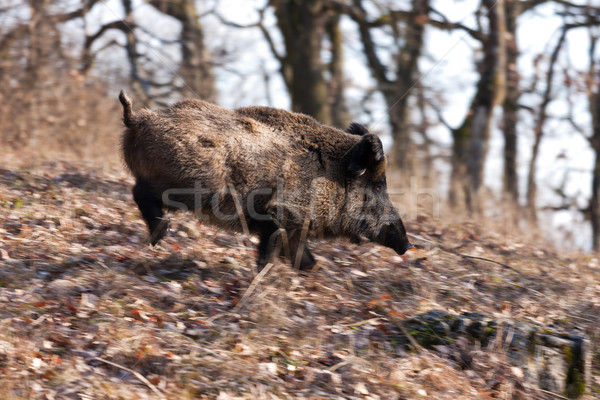Sauvage sanglier grand courir Photo stock © digoarpi