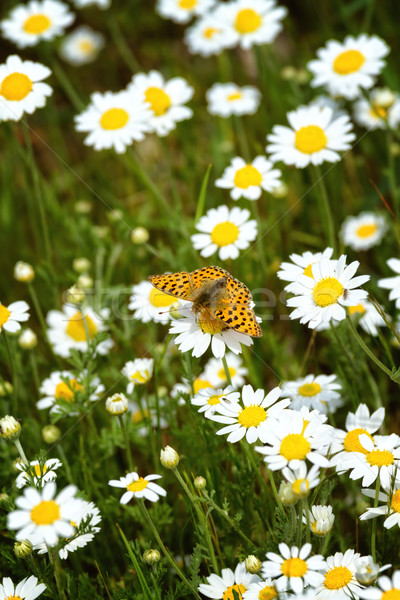 White and yellow daisies with Silver-washed Fritillary (Argynnis Stock photo © digoarpi
