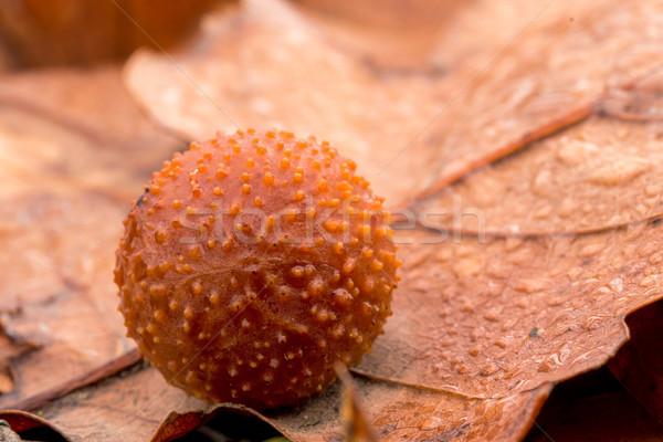 oak spangle Stock photo © digoarpi