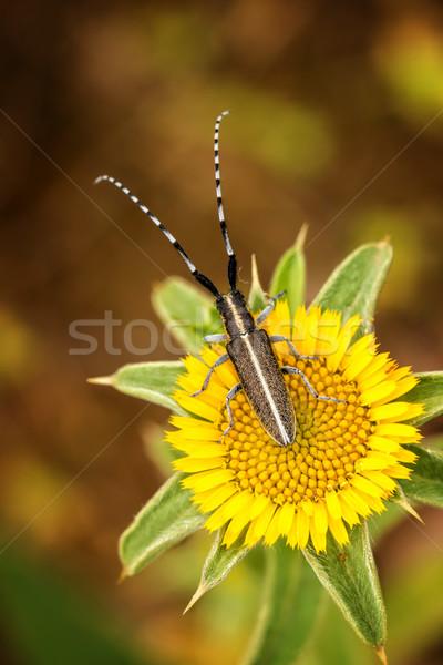 Flat-faced longhorn beetle Stock photo © digoarpi