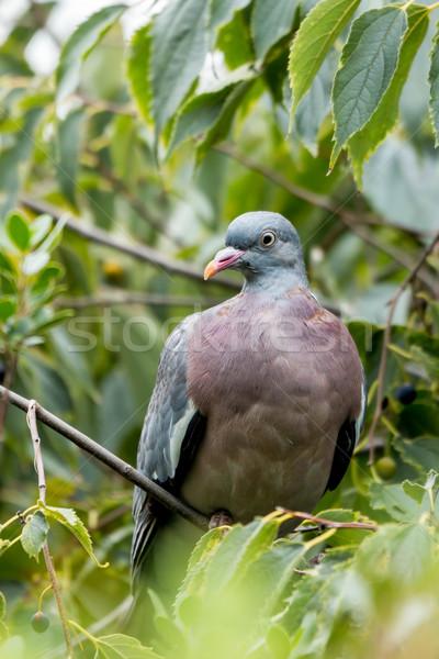 Wood pigeon (Columba palumbus) Stock photo © digoarpi