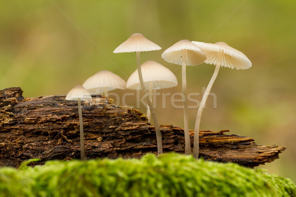 Nice close up picture from a small mushrooms Stock photo © digoarpi