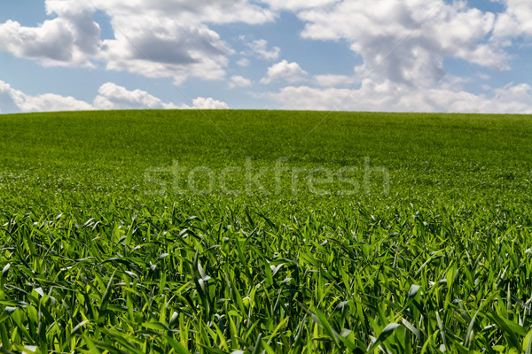 Cereal field Stock photo © digoarpi