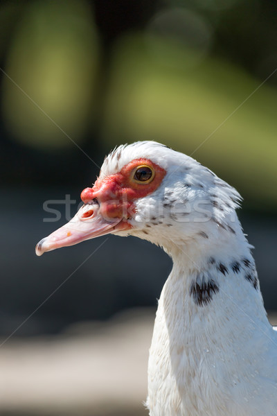 Canard portrait nature oiseau ferme rouge Photo stock © digoarpi