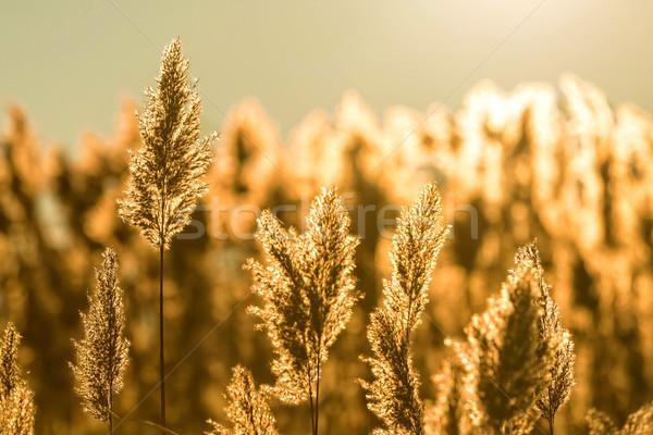Common reed Stock photo © digoarpi