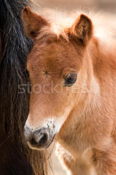 Young nag horse  Stock photo © digoarpi