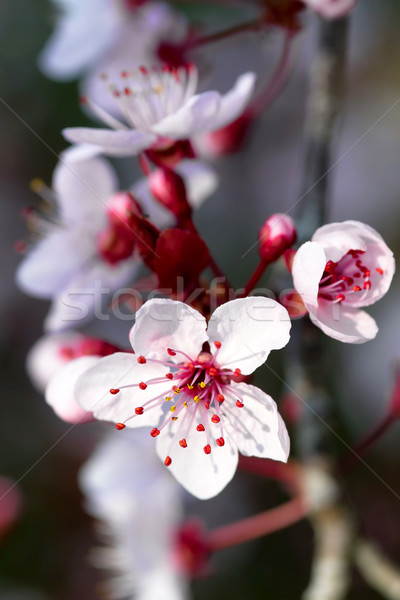 Prunus flowers Stock photo © digoarpi