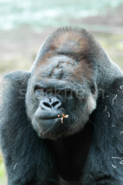 Gorilla Stock photo © digoarpi
