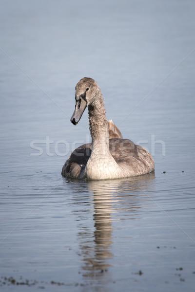 Jovem branco cisne natureza luz Foto stock © digoarpi