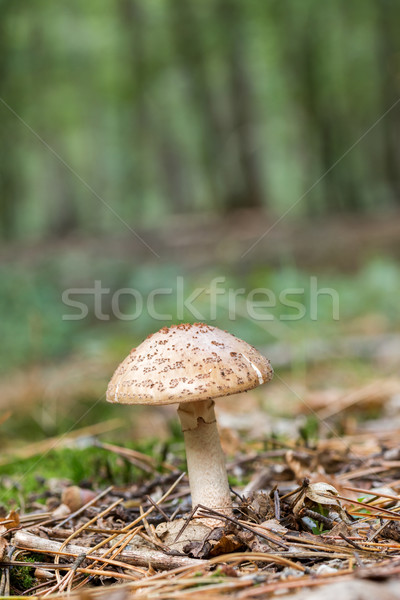 Edible Blusher fungi (Amanita rubescens) Stock photo © digoarpi