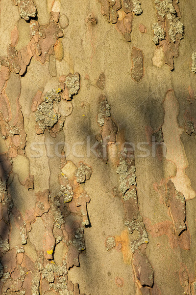 Primer plano corteza edad avión árbol fondo Foto stock © digoarpi