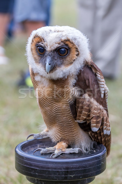 Young Brown Spotted Owl Stock photo © digoarpi