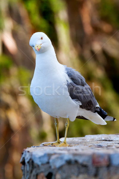 Seagull Stock photo © digoarpi