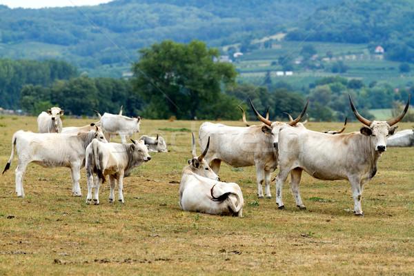 Hungaryan bulls Stock photo © digoarpi