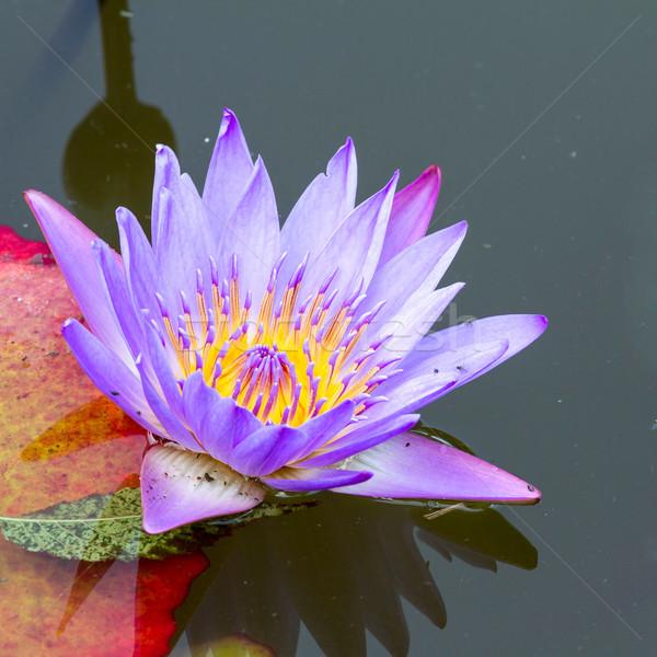 água lírio rosa lago flor luz Foto stock © digoarpi