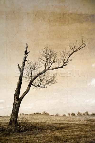 Dry tree Stock photo © digoarpi