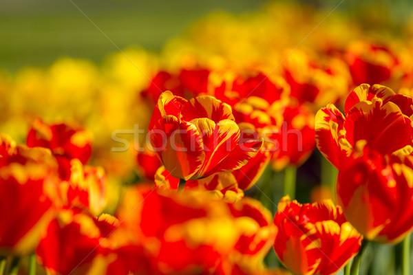 Striped color tulips in springtime Stock photo © digoarpi
