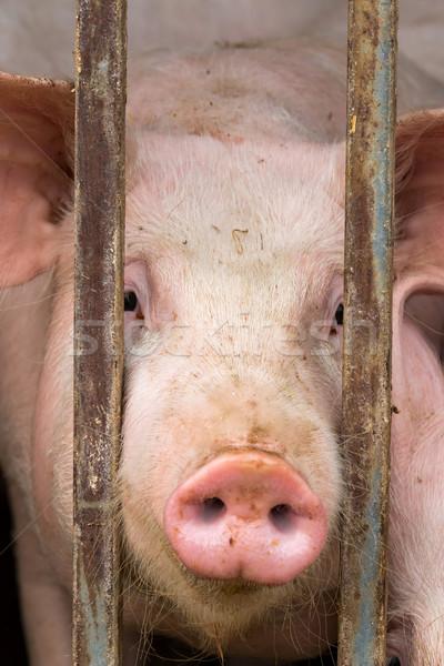 Stock fotó: Fiatal · disznó · közelkép · mező · portré · hús
